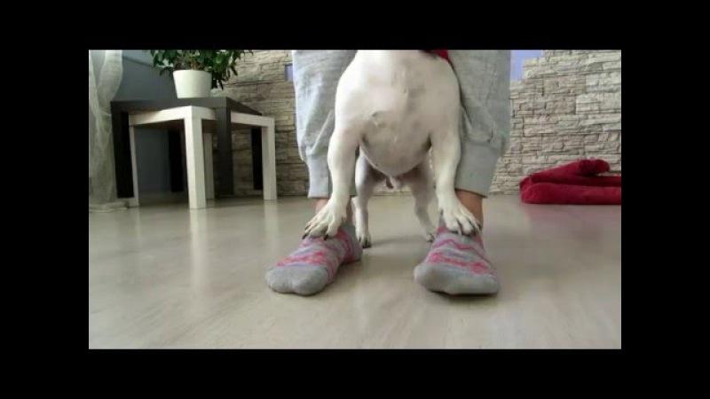 Джек Рассел Терьер Ирж - прикольные трюки/ Dog tricks