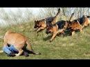 Os mais treinados disciplinados cachorro Pastor Alemão