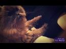 Кошка Массажистка / кошка делает массаж на грудь