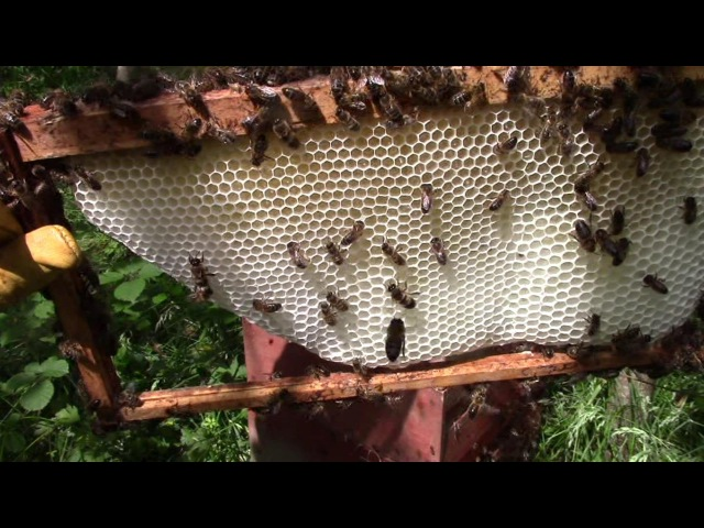 Using Homemade Wax Foundation Sheets And Starter Strips (In Rose Bee Hives)
