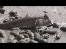 Amazing animals - Mudskipper
