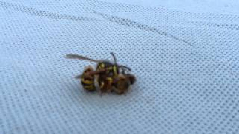 В Калифорнии Эпическая Схватка Осы и Пчелы ! Срежессировано 100 %