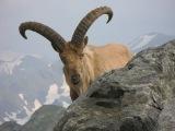 БАРАНМУФЛОН и КРИ-КРИ Охота на дикого барана в Турецких горах и Греции