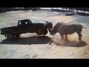 Разгневанные носороги атакуют автомобили с туристами