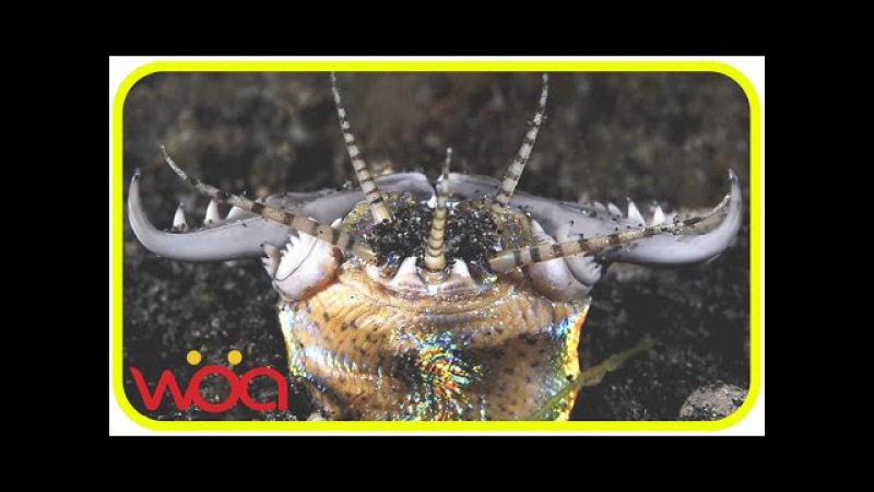 Best Tactic Sea Life - Monster Bobbit worm hunting Fish