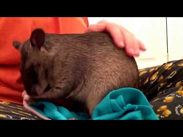 Gambian pouched rat madison sat on my knee