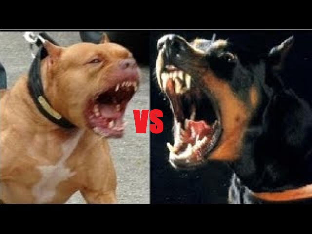 Pelea de Doberman vs Pitbull a Muerte. - (Doberman vs Pitbull fight to death.)