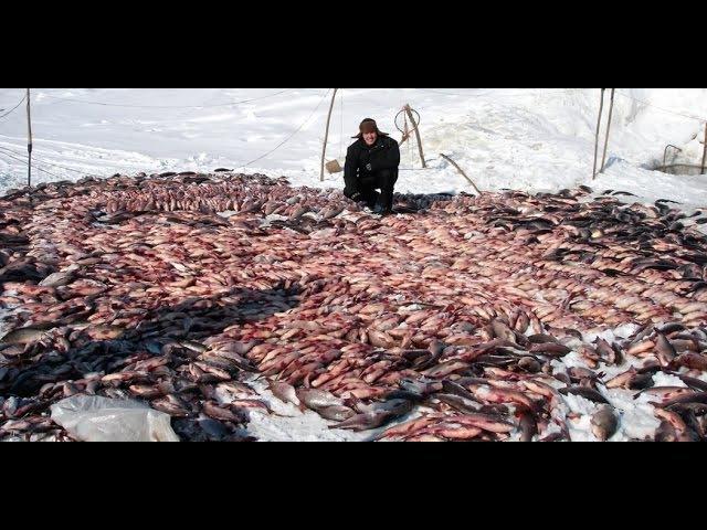 Рыбалка в самой глуши тайги! Крупнейший улов Зимний невод.