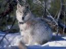 Очень интересный фильм! Волчица из Елоустоуна! Документальные фильмы, фильмы про волков