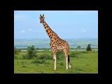 Играем в Wild Animals Online за жирафа. Прокачиваем до десятого лвла.