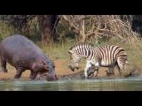 Wild Animals Videos - Hippo Save Zebra From Crocodile, African Animals