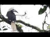 White-crowned Hornbill / Азиатский белохохлый калао / Aceros comatus
