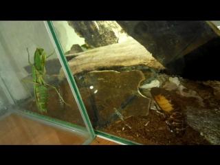 Богомол охотится на мадагаскарского таракана.