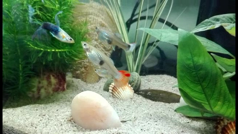 Мои рыбки целуются