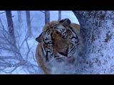 ვეფხვის და ადამიანის ბრძოლა / Tiger and human struggle