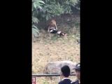 В китайском зоопарке посетитель погиб после нападения тигра 18+