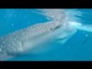 Купание с китовыми акулами, Себу, Ослоб
