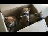 Коробка щенков Шиба-ину/Сиба || FunFailTop 2017
