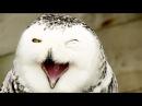 Animal Planet Magic of Snowy Owl Best Documentary