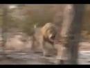 Охота на льва.