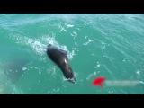 Белая акула охотится на морского котика (Great White Shark Eats Seal)