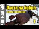 Охота на бобра капканами зимой 10 советов