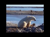 Polar bear with his friend  can't stop stroking dog.