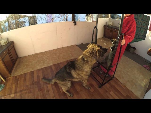 Пес впервые увидел себя в зеркале)