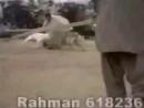 Gull terr VS Hyena 2 (гулл терр гиена Собачьи бои притравка)