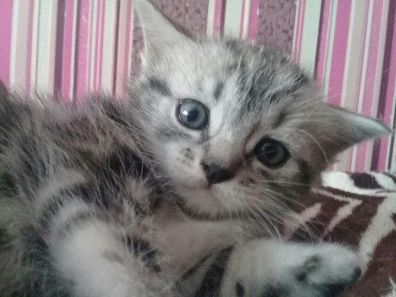 Снежинка и Дымка - котенок в добрые руки, отдам котенка