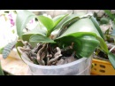 Орхидея делёнка а детки уже подросли