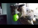 Филин Ёль застряла клювом в мячике.