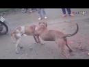 Питбуль vs Питбуль 18+ собачьи бои