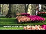 Hyacinth Jan Bos &amp Hyacinth Gipsy Queen - Hyacinth Bulbs from Holland