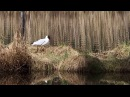 Black-headed gull / Озёрная чайка / Chroicocephalus ridibundus / Larus ridibundus