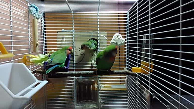 Камера в клетке пары попугаев розовощеких неразлучников и их потомства 08.07.17