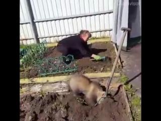 Обычный день в России - медведь помогает на даче