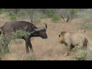 Hurt your pride? Buffalo make daring rescue of herd member after two lions attack
