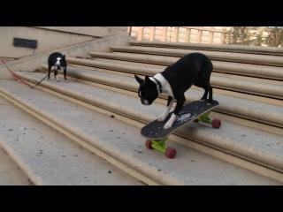 Собака на скейтборде