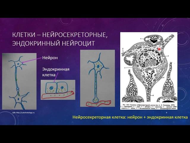 Эндокринная система 2. Гипоталамус
