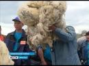 Золотое руно Сибири. Конкурс стригалей прошёл в Ольхонском районе