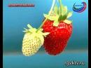В Дагестане клубнику начали выращивать методом гидропоники
