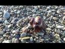 Рак отшельник Чёрное море Крым Ялта. sony HDR-CX530E
