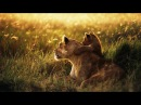 National Geographic - Lion - Animal Planet Documentary - Documentary