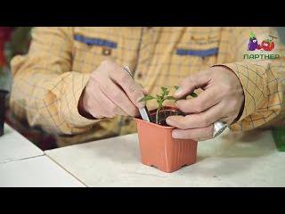 Как вырастить рассаду перца. Часть 2.
