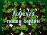 Лобелия.Выращиваем рассаду без хлопот. 1 посев семян.