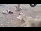 Щенок попал в вольер со львами