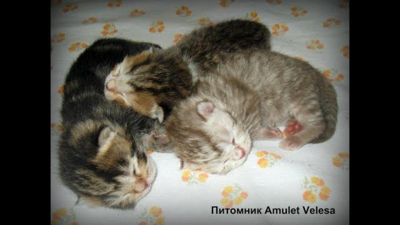 Британские котята на второй день после рождения