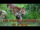 Чем леопарды отличаются от ягуаров? | Leopard Jaguar -The Differences