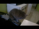 Кошка голубых кровей😏